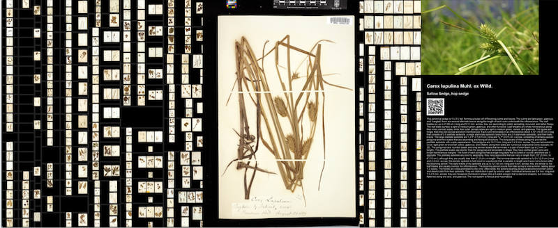 Screenshot for an application for the Brown Herbarium, showing a treemap visualization of scanned images of plant specimens.